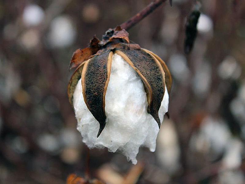 Photograph of a cotton boll, Michael Bass-Deschenes, Georgia, courtesy of New Georgia Encyclopedia.