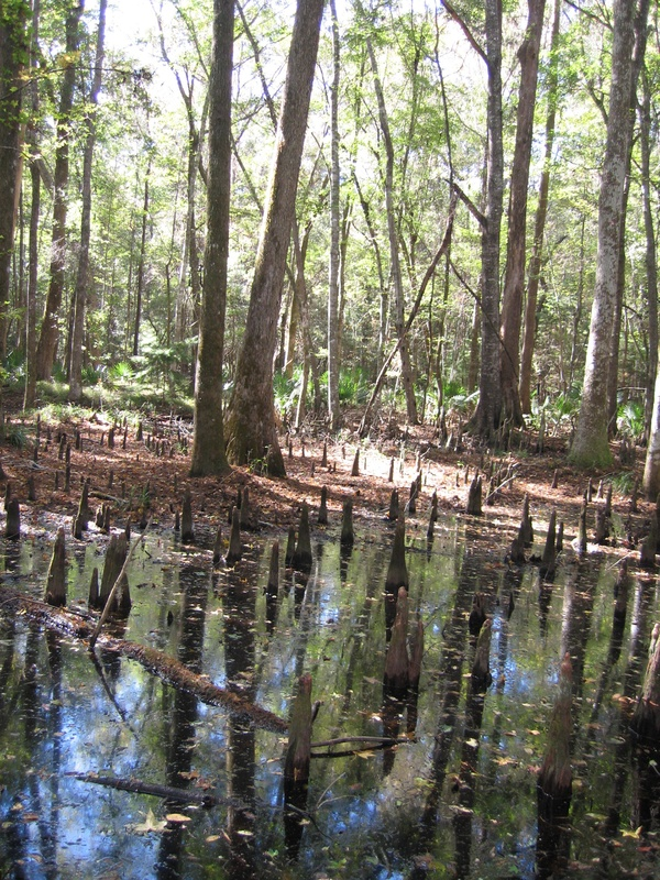 Cypress swamp at Caw Caw Interpretive Center, image by Mary Battle, Ravenel, South Carolina, March 2012.