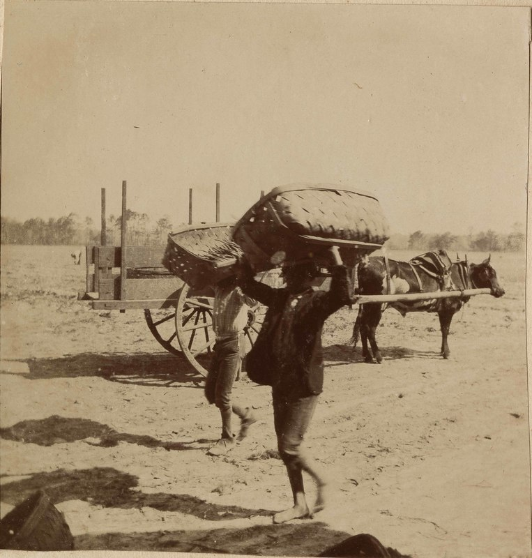 Two men with bushel baskets and wagon, Conrad Munro Donner, Halls Island, South Carolina, early 1900s, courtesy of Beaufort County Library.