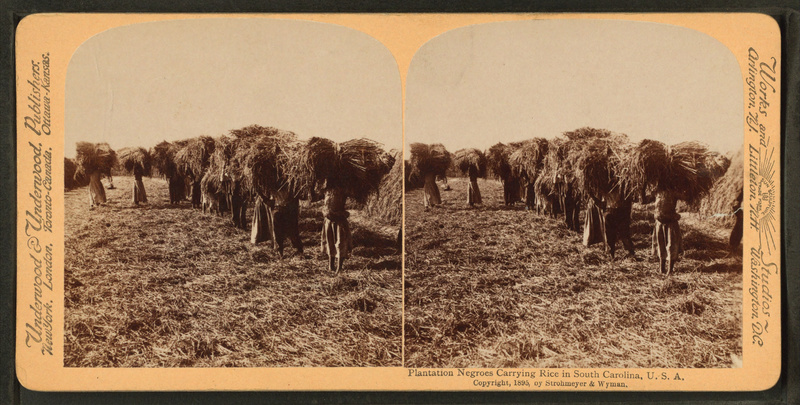 African Americans carrying sheaves of rice, South Carolina, 1895, courtesy of the New York Public Library.