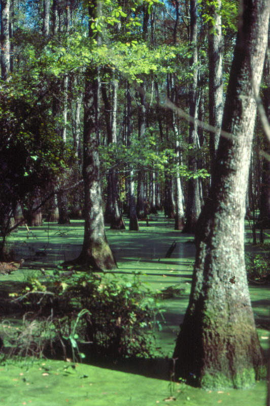 <p>Cypress swamp at the Bluffton Plantation, image by Richard D. Porcher, West Branch of the Cooper River, South Carolina, 1985.</p>