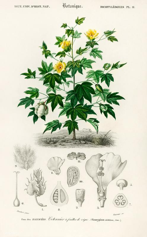 """Gossypium barbadense,"" from Charles D'Orbigny's Dictionnaire Universel d'Histoire Naturelle, 1849, courtesy of Wikimedia Commons."