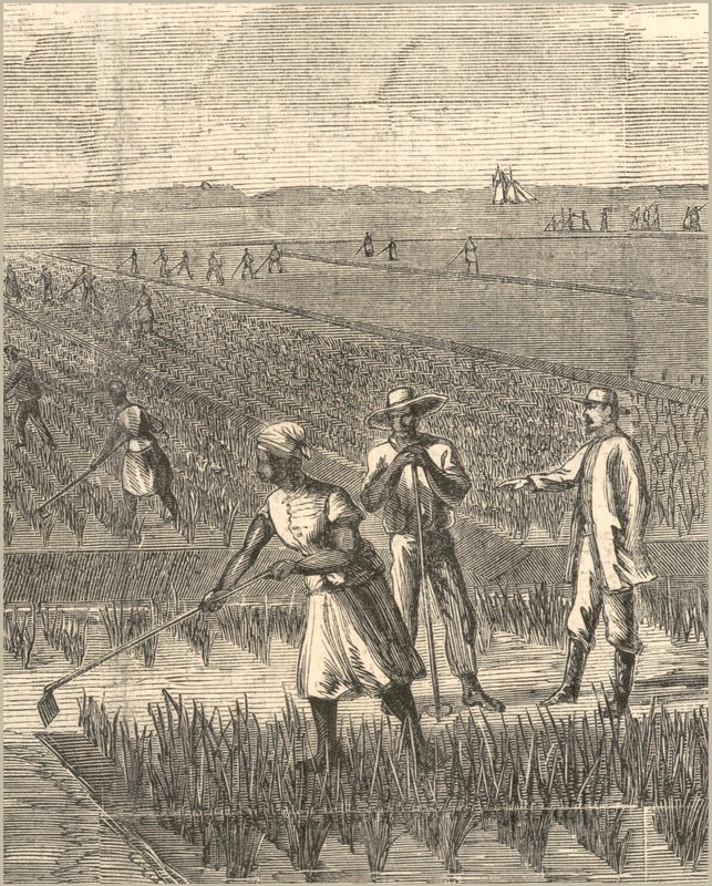 "Laborers in a Lowcountry rice field, from ""Rice Culture on the Ogeechee,"" illustration by A. R. Waud, Harper & Brother, New York, 1867, courtesy of Library Of Congress."