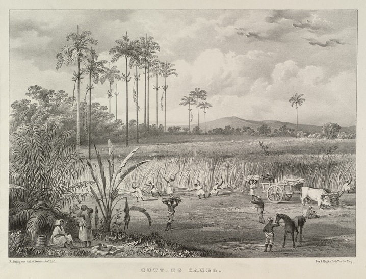 Lithographic plate showing harvesting of sugarcane on a Trinidad sugar plantation, created by Richard Bridgens, 1836.