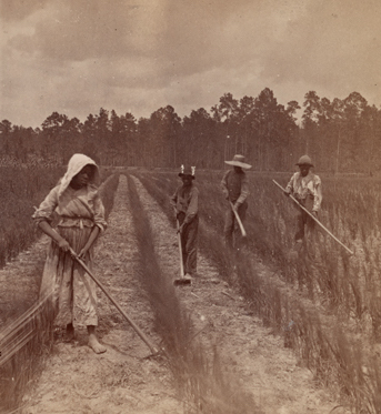 A group of workers hoeing rice, photograph by O. Pierre Havens, Savannah, Georgia, c. 1850s, courtesy of the New York Public Library Digital Collections.