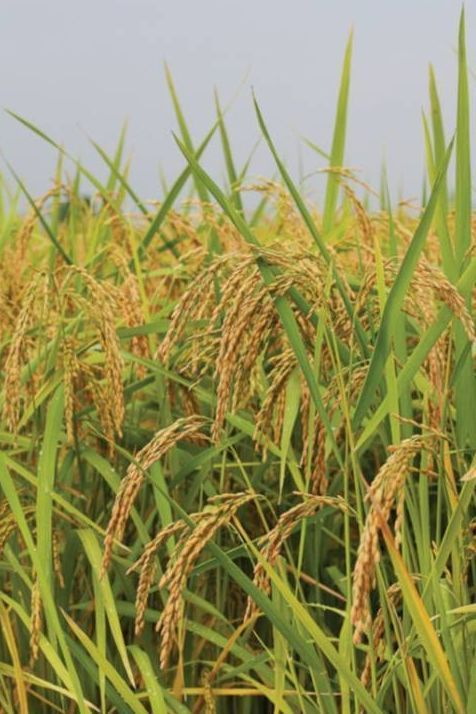 <p>Carolina Gold Rice, image by Kay Rentschler, ca. early 2000s, courtesy of the Carolina Gold Rice Foundation.</p>