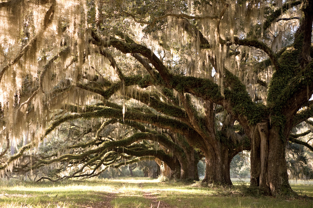oak allee.jpg