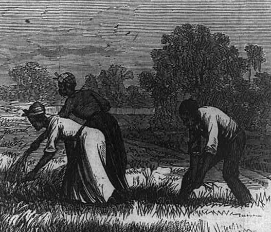 African American workers weeding on a Cape Fear River rice plantation, North Carolina, 1866, wood engraving in Frank Leslie's <em>Illustrated Newspaper</em>, courtesy of Library of Congress Prints and Photographs Division.